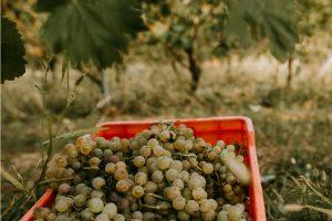 Weiße Trauben in den Colli Tortonesi